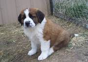 Nice Looking Saint Bernard Puppies for Good Homes