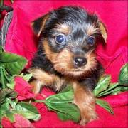 Cute Yorkshire Terrier Puppies for Christmas